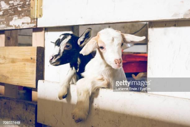 Kid Goats Looking Through Fence In Pen