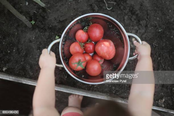 Kid holding bowl with tomatos in greenhouse