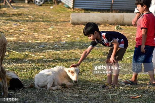 A kid inspects a sheep at a livestock market ahead of the Muslim festival Muslims across the world are preparing to celebrate the annual festival of...