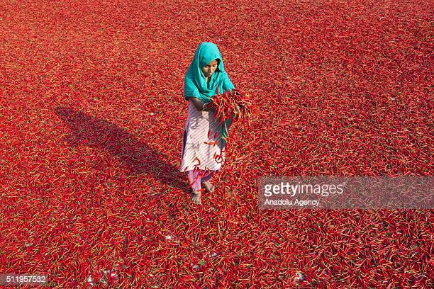 A kid poses on the way to school across the area where women process and dry red chili pepper under sun near Jamuna river 240 kms northwest of Dhaka...