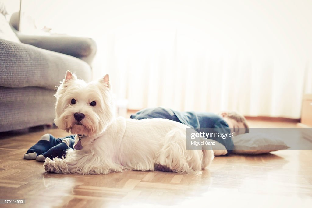 Kid sleeping on the floor and his westie puppy : Stock Photo