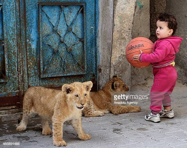 A kid stands near lion cubs playing wit balls outside the home of Gazan man Sadettin al Jamal in Rafah Gaza Strip on March 19 2015 Sadettin al Jamal...