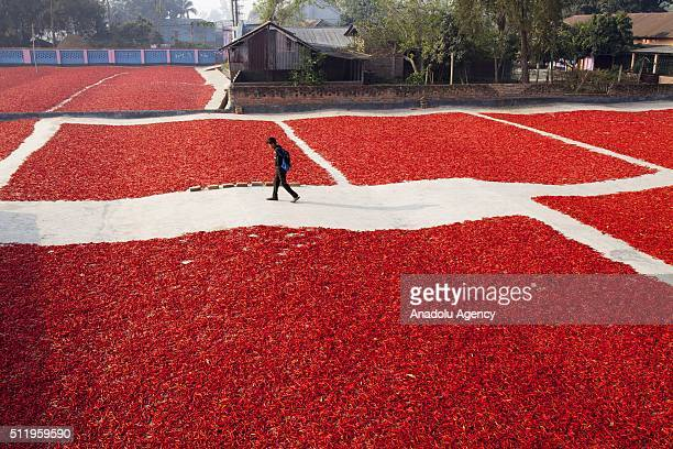 A kid walks to school across the area where women process and dry red chili pepper under sun near Jamuna river 240 kms northwest of Dhaka in...