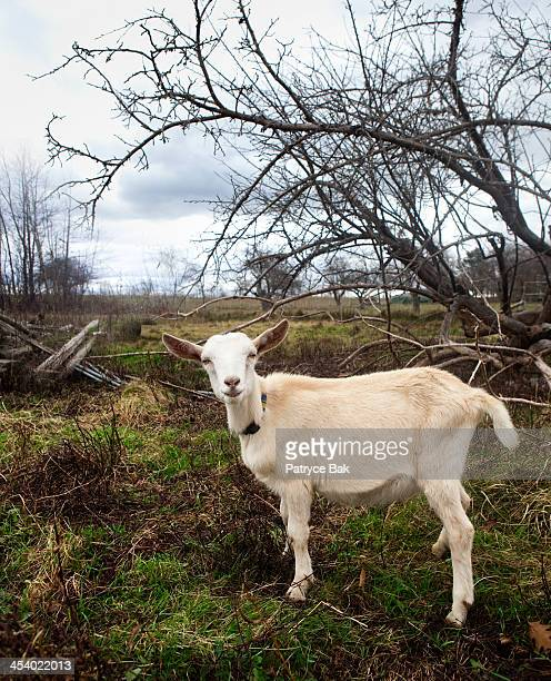 Kid/ Young Goat on Pasture