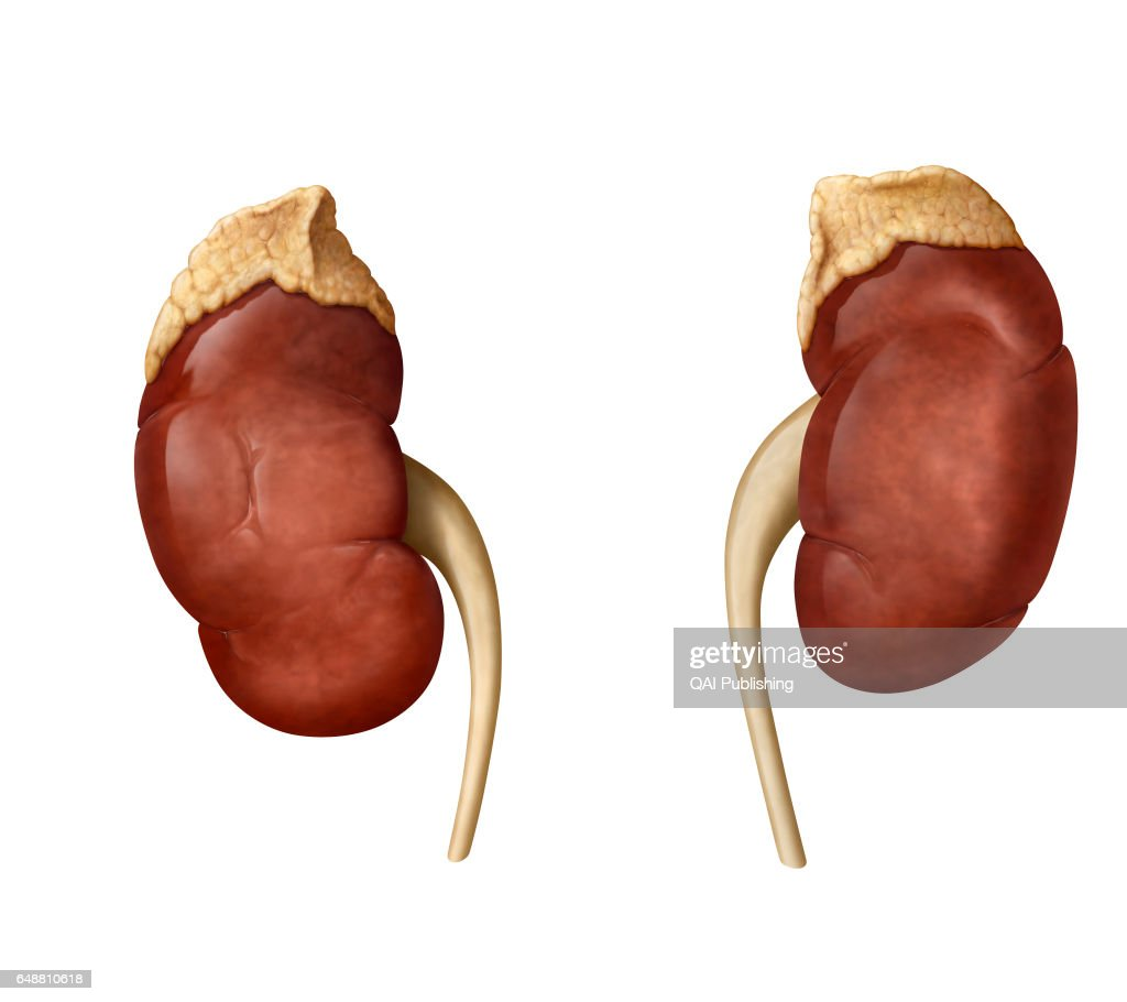 Kidneys And Adrenal Glands Pictures Getty Images