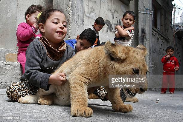 Kids play with a lion cub outside the home of Gazan man Sadettin al Jamal in Rafah Gaza Strip on March 19 2015 Sadettin al Jamal who stays at...