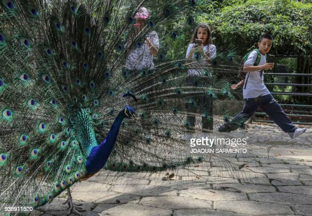 Kids try to photograph a peacock at the Santa Fe zoo in Medellin Antioquia Department Colombia on March 21 2018 The Intergovernmental SciencePolicy...