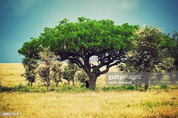 Kigelia africana (sausage tree) in the Serengeti, Tanzania, Africa