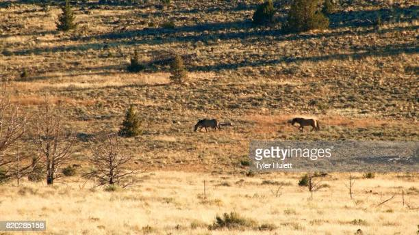 kiger mustangs wild horses steens mountain near malhuer wildlife refuge 21 - steens mountain stock pictures, royalty-free photos & images