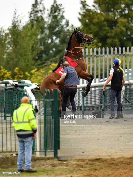 Kildare Ireland 8 September 2020 Moylisha rears up on the way to post prior to the Lemongrass Fusion Citywest Naas Maiden Hurdle at Punchestown...
