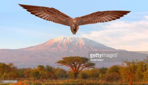 kilimanjaro and flying african elephant - membre partie du corps photos et images de collection