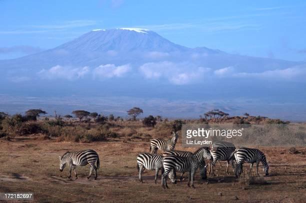 Kilimanjaro with Plains Zebra