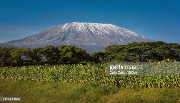 kilimanjaro with sunflowers - mt kilimanjaro stock photos and pictures