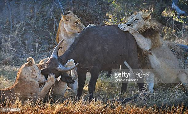 kill of a babby buffalo syncerus caffer - lion attack stock pictures, royalty-free photos & images