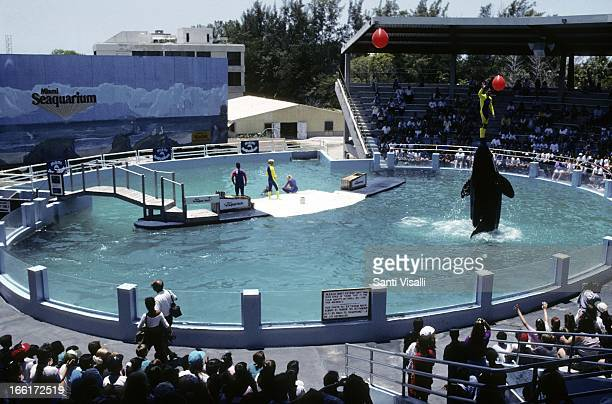 Killer Whale at the Seaquarium on May 27 1992 in Key Biscayne Florida Photo by Santi Visalli/Getty Images}