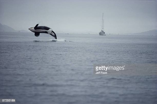 Killer whale breaching in air over ocean, boat in background. Orcinus orca.