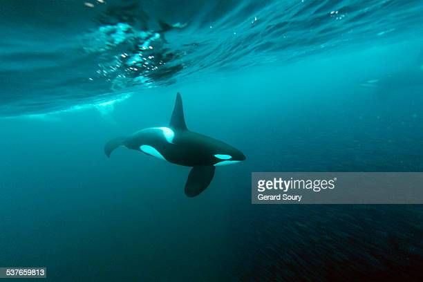 A killer whale feeding on a school of herrings