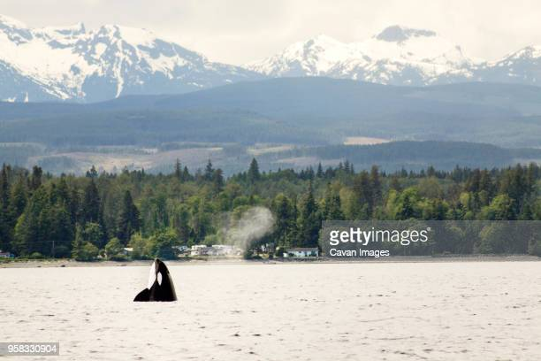 killer whale in sea against mountains - vancouver island stockfoto's en -beelden
