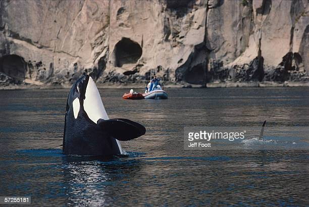 Killer whale in vertical position in water (spy hop), boats on whale watch in background.  Oricnus orca. San Juan Island, Washington.