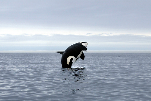 A killer whale jumping out of the ocean 139879318