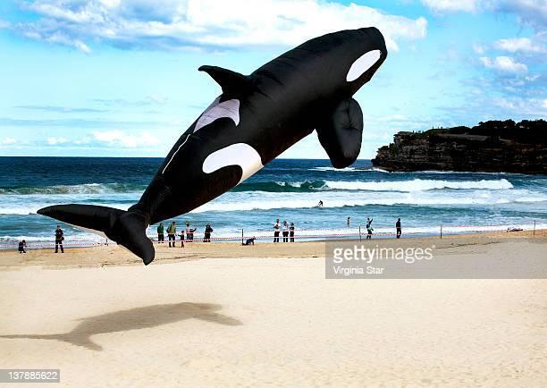 Killer whale kite balloon over bondi beach