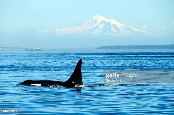 killer whale - vancouver canada stock pictures, royalty-free photos & images