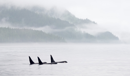 Killer Whale Pod in Misty Bay 497946212