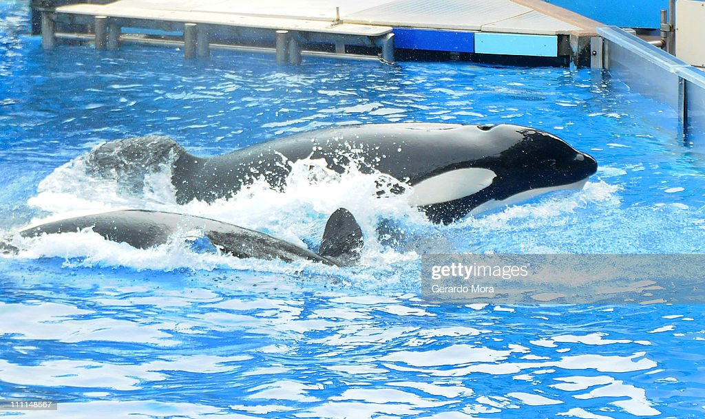 Killer whale 'Tilikum' appears during its performance in its show 'Believe' at Sea World on March 30, 2011 in Orlando, Florida. 'Tilikum' is back to public performance March 30, the first time since the six-ton whale has performed since killing trainer 40-year-old trainer Dawn Brancheau at the marine park on February 24 2010, after Sea World Parks & Entertainment president Jim Atchinson signed off on the decision this week.