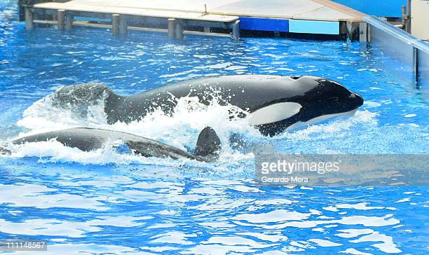 "Killer whale ""Tilikum"" appears during its performance in its show ""Believe"" at Sea World on March 30, 2011 in Orlando, Florida. ""Tilikum"" is back to..."