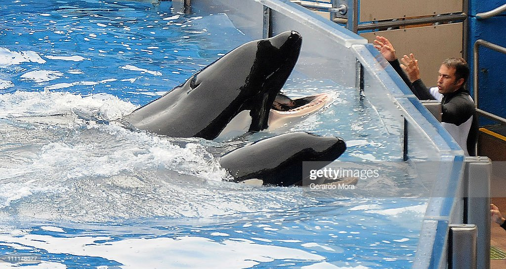 Killer whale 'Tilikum' (back) appears during its performance in its show 'Believe' at Sea World on March 30, 2011 in Orlando, Florida. 'Tilikum' is back to public performance March 30, the first time since the six-ton whale has performed since killing trainer 40-year-old trainer Dawn Brancheau at the marine park on February 24 2010, after Sea World Parks & Entertainment president Jim Atchinson signed off on the decision this week.