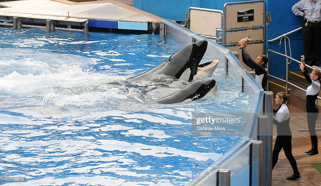 Killer Whale That Killed Its Trainer Returns To Show At SeaWorld : News Photo