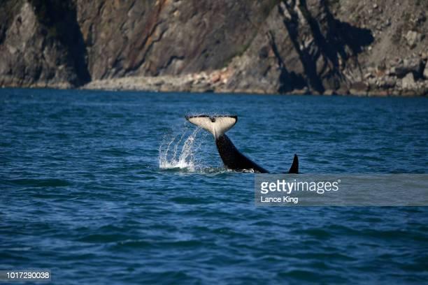 killer whale (orcinus orca) waves its tail in resurrection bay, alaska - golfo do alasca imagens e fotografias de stock