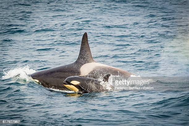 killer whales swimming in sea - killer whale stock pictures, royalty-free photos & images