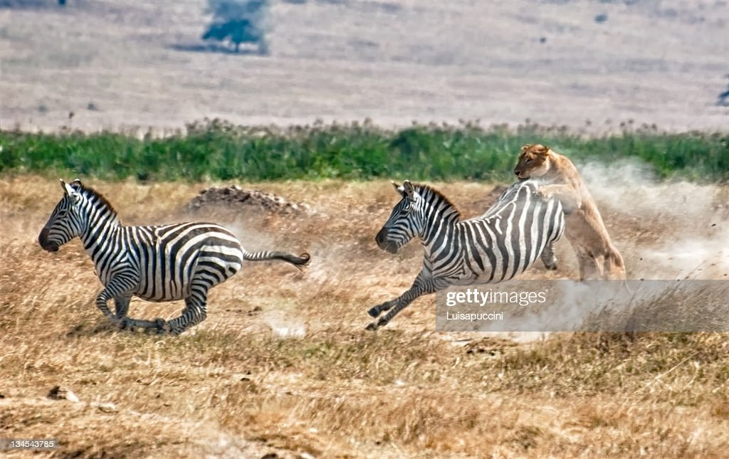 Killing of zebra by hunting lioness : Foto stock