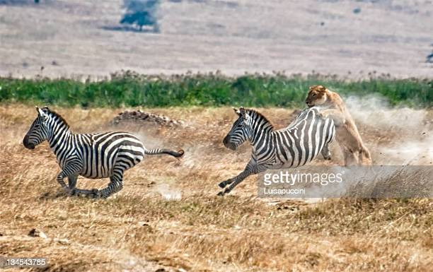 killing of zebra by hunting lioness - luisapuccini stock-fotos und bilder