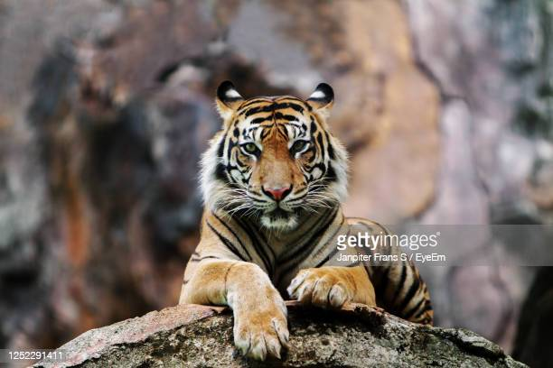 killing time - tiger stock pictures, royalty-free photos & images