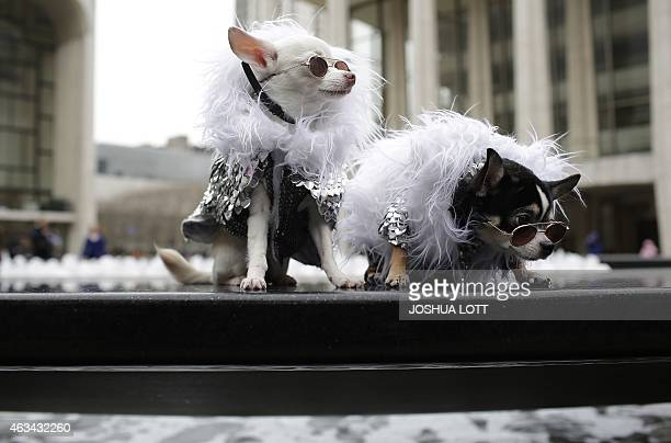 Kimba The White Lion and Bogie both Chihuahua dogs sit outside the Lincoln Center during New York Fashion Week February 14 2015 in New York AFP...