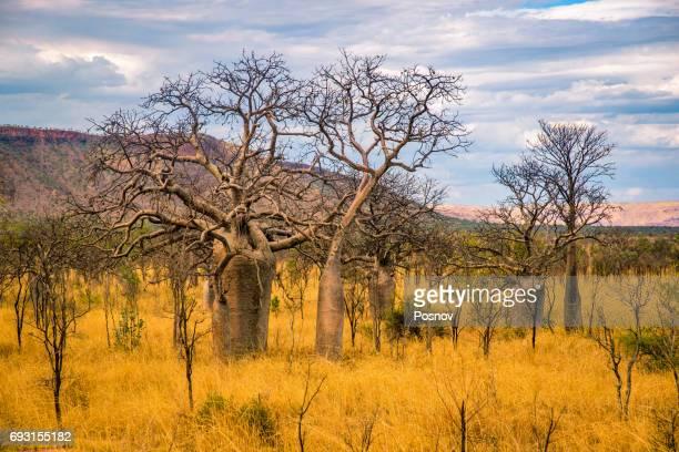 Kimberley Baobab