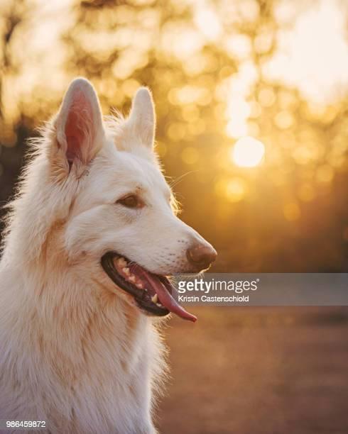 kims pups - loup blanc photos et images de collection