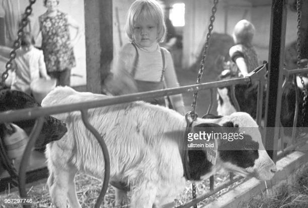 Kinder besuchen ihre Patenbrigade in einem Kuhstall einer LPG in Groß Godems bei Ludwigslust und lernen was alles im Kuhstall zu tun ist undatiertes...
