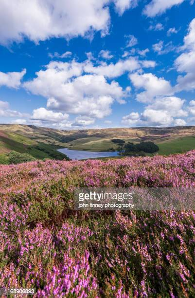 kinder scout estate with purple heather. derbyshire, peak district. uk - blossom stock pictures, royalty-free photos & images