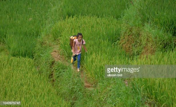 Kinderarbeit Reisterrasse Tha Pin Vietnam