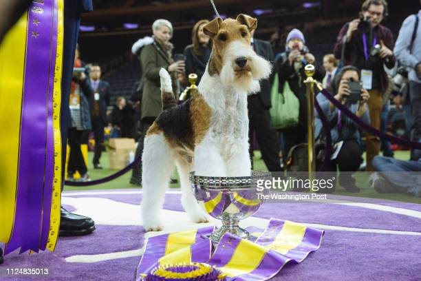 February 12: King, a Wire Fox Terrier, poses for pictures after winning Best in Show at the Westminster Kennel Club Dog Show at Madison Square...