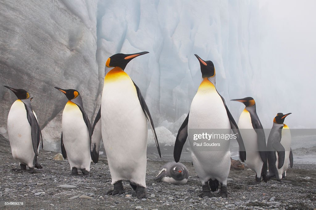 King and Gentoo Penguins on South Georgia Island : Stock Photo