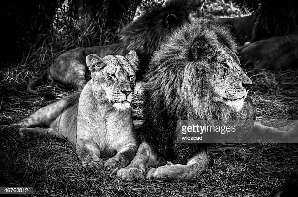 king and queen - lion stockfoto's en -beelden