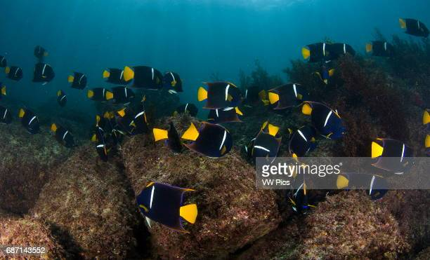 king angelfish school Holacanthus passer at Sea of Cortez Baja California Mexico
