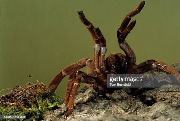 king baboon tarantula (citharischius crawshayi) with fangs out, kenya, africa - ugly spiders stock photos and pictures