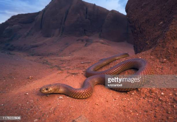 king brown snake (pseudechis australis), australia - snake stock pictures, royalty-free photos & images