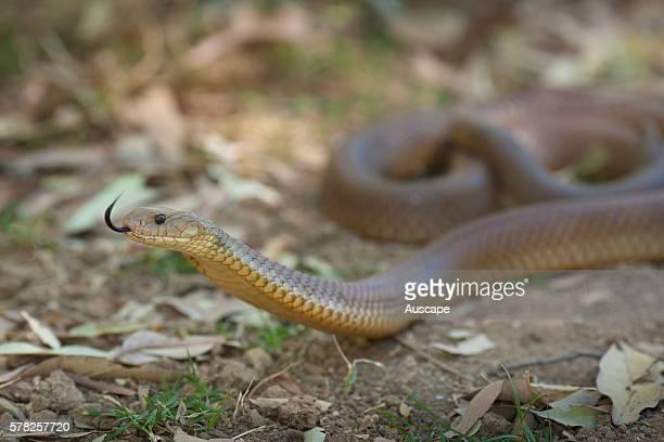 King brown snake Pseudechis australis flicking its tongue Mornington Wildlife Sanctuary central Kimberley Western Australia