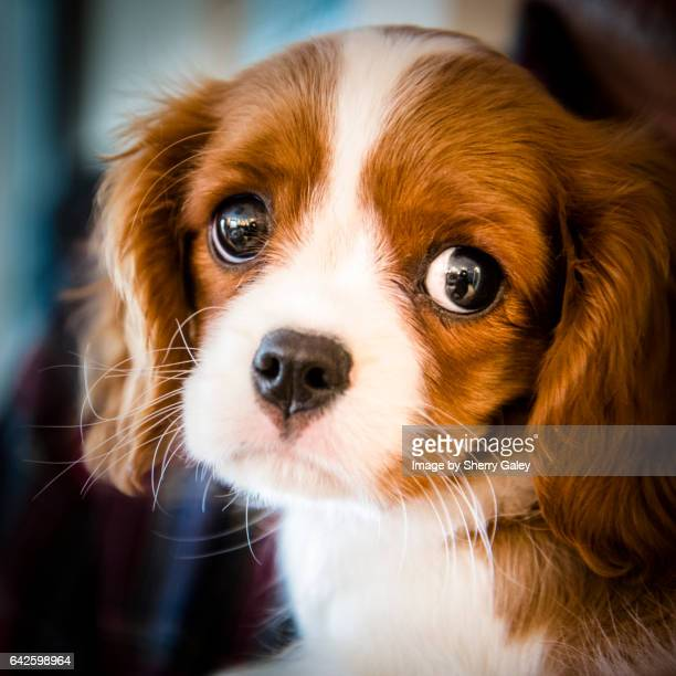 king charles cavalier puppy portrait - cavalier king charles spaniel stock pictures, royalty-free photos & images